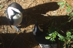 Cape Penguins
